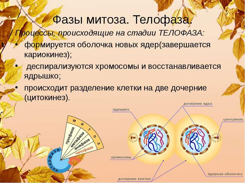 Фазы митоза. Телофаза. Процессы, происходящие на стадии ТЕЛОФАЗА: формируется...