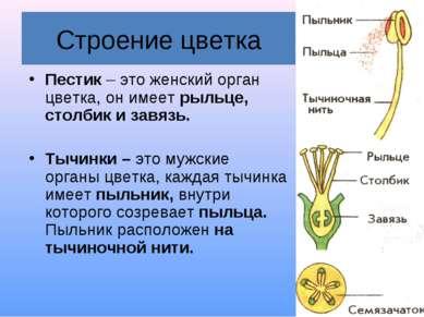 Строение цветка Пестик – это женский орган цветка, он имеет рыльце, столбик и...