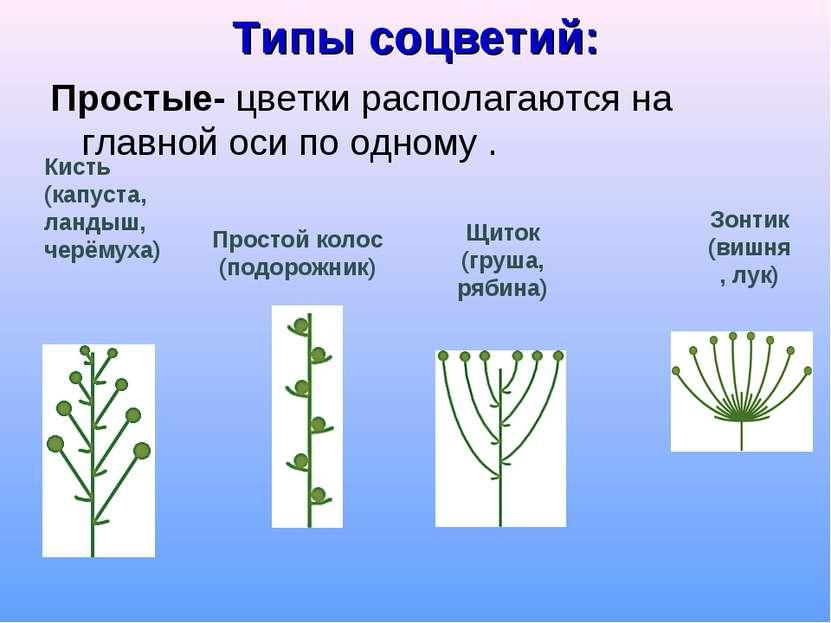 Типы соцветий: Простые- цветки располагаются на главной оси по одному . Кисть...