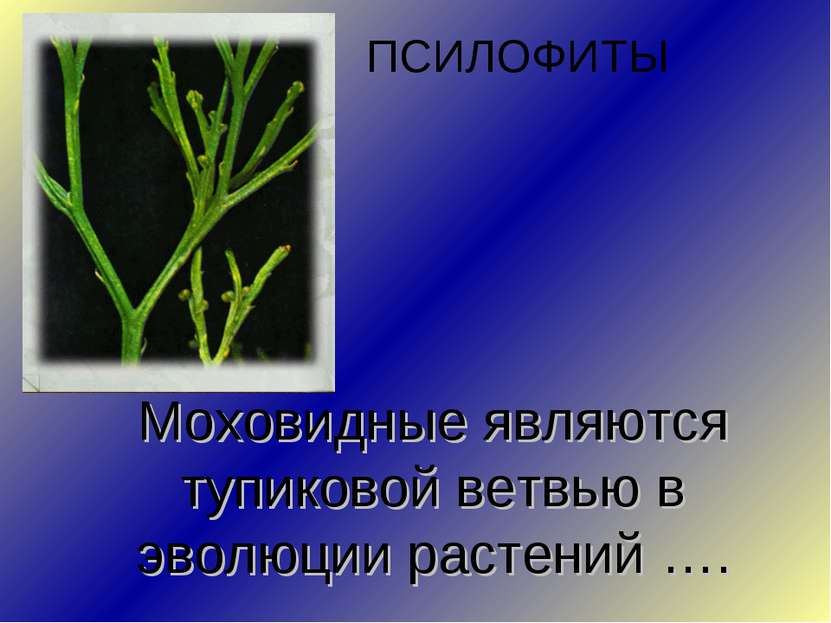 Моховидные являются тупиковой ветвью в эволюции растений …. ПСИЛОФИТЫ