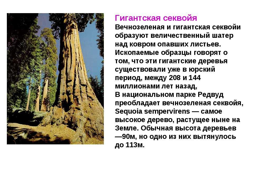 Гигантская секвойя Вечнозеленая и гигантская секвойи образуют величественный ...