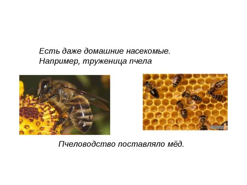 Пчеловодство поставляло мёд. Есть даже домашние насекомые. Например, тружениц...