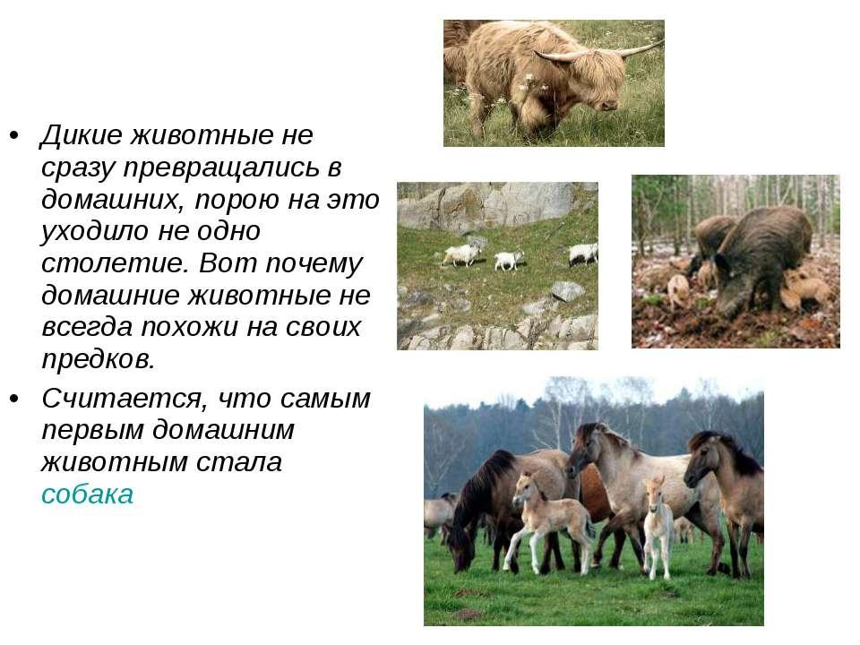 Дикие животные не сразу превращались в домашних, порою на это уходило не одно...