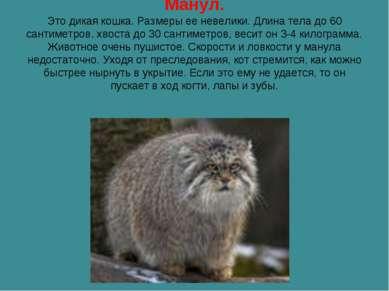 Манул. Это дикая кошка. Размеры ее невелики. Длина тела до 60 сантиметров, хв...