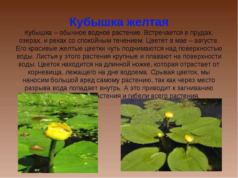 Кубышка желтая Кубышка – обычное водное растение. Встречается в прудах, озера...