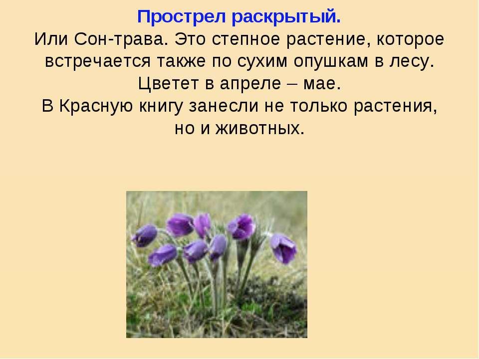 Прострел раскрытый. Или Сон-трава. Это степное растение, которое встречается ...
