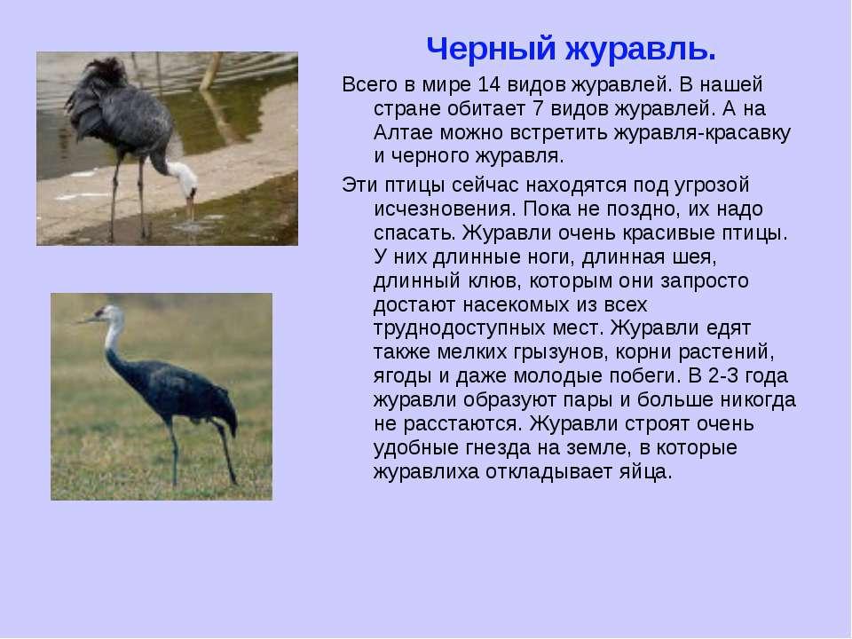Черный журавль. Всего в мире 14 видов журавлей. В нашей стране обитает 7 видо...