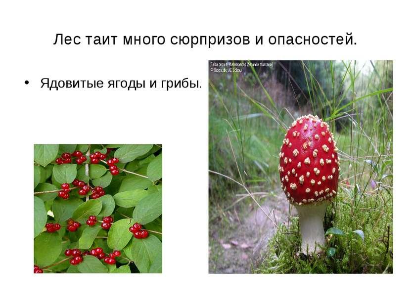 Лес таит много сюрпризов и опасностей. Ядовитые ягоды и грибы.