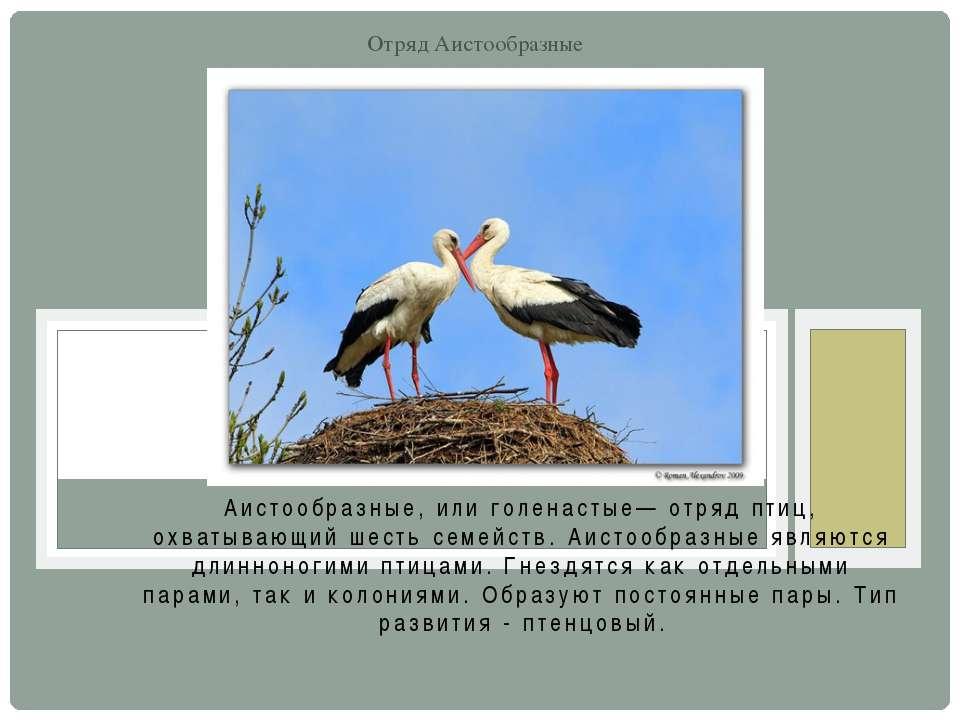 Аистообразные, или голенастые— отряд птиц, охватывающий шесть семейств. Аисто...