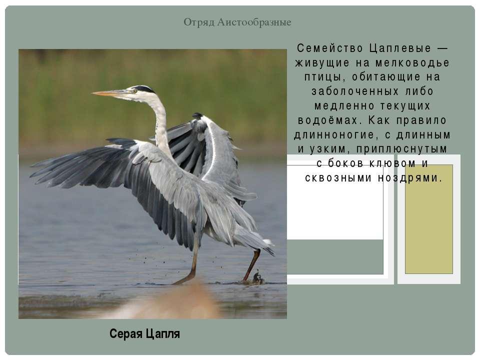 Семейство Цаплевые — живущие на мелководье птицы, обитающие на заболоченных л...