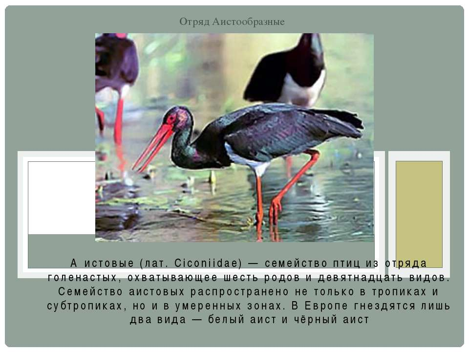 А истовые (лат. Ciconiidae) — семейство птиц из отряда голенастых, охватывающ...