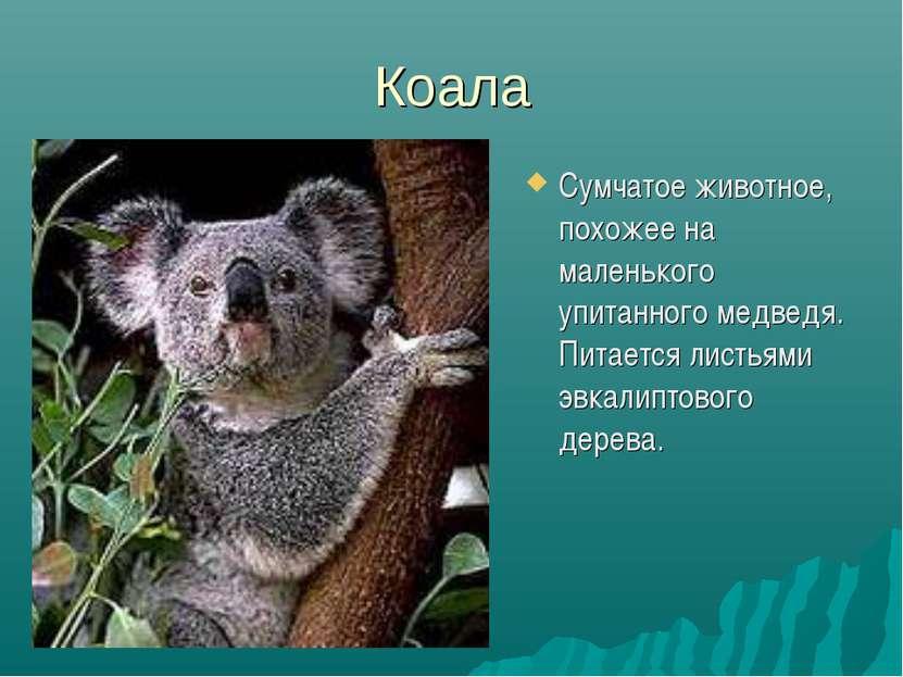 Коала Сумчатое животное, похожее на маленького упитанного медведя. Питается л...