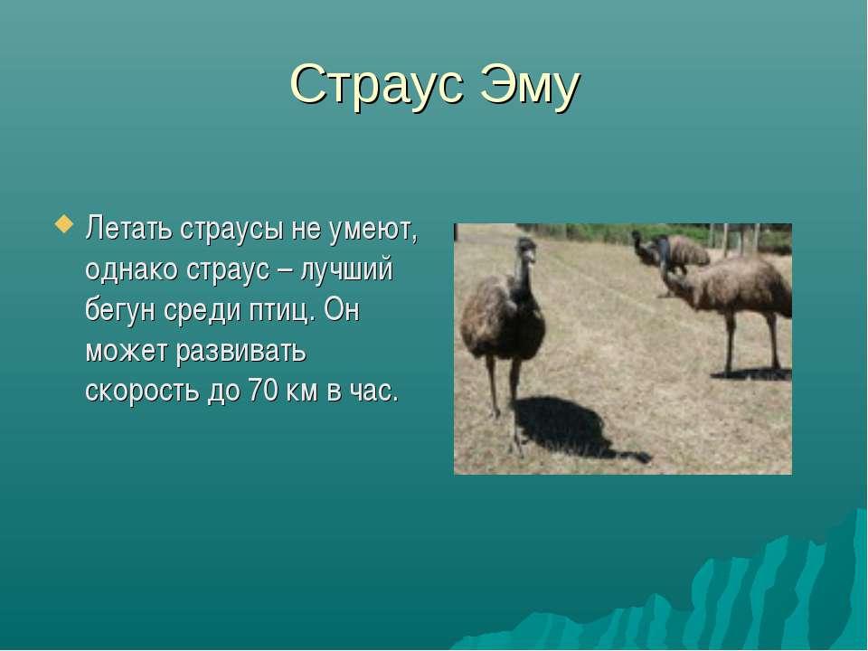 Страус Эму Летать страусы не умеют, однако страус – лучший бегун среди птиц. ...