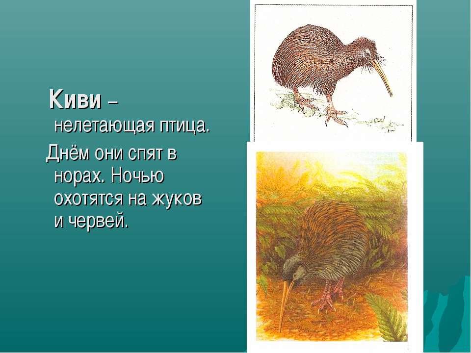 Киви – нелетающая птица. Днём они спят в норах. Ночью охотятся на жуков и чер...