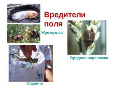 Вредная черепашка Саранча Вредители поля Жук-кузька