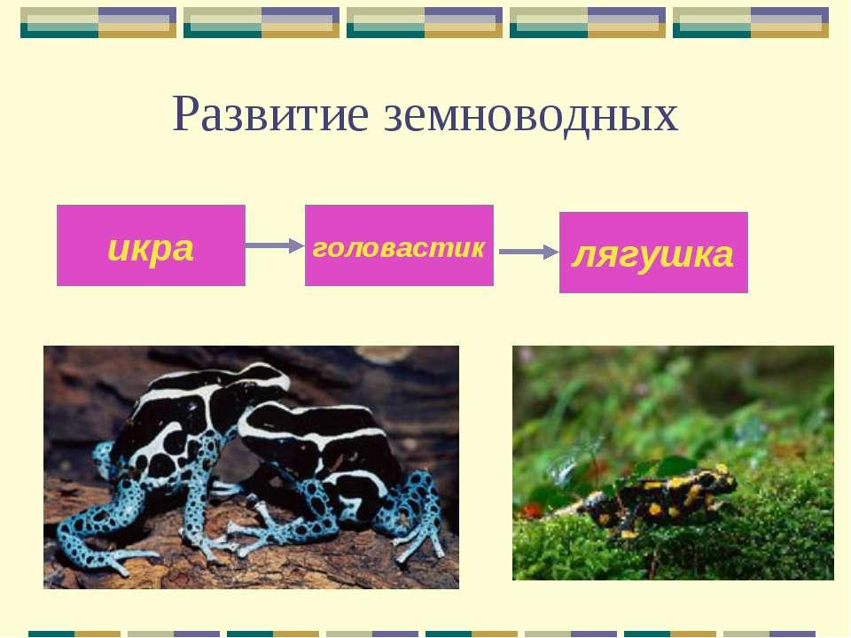 Развитие земноводных икра головастик лягушка