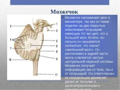 Мозжечок Мозжечок напоминает мозг в миниатюре, так как он также поделен на дв...