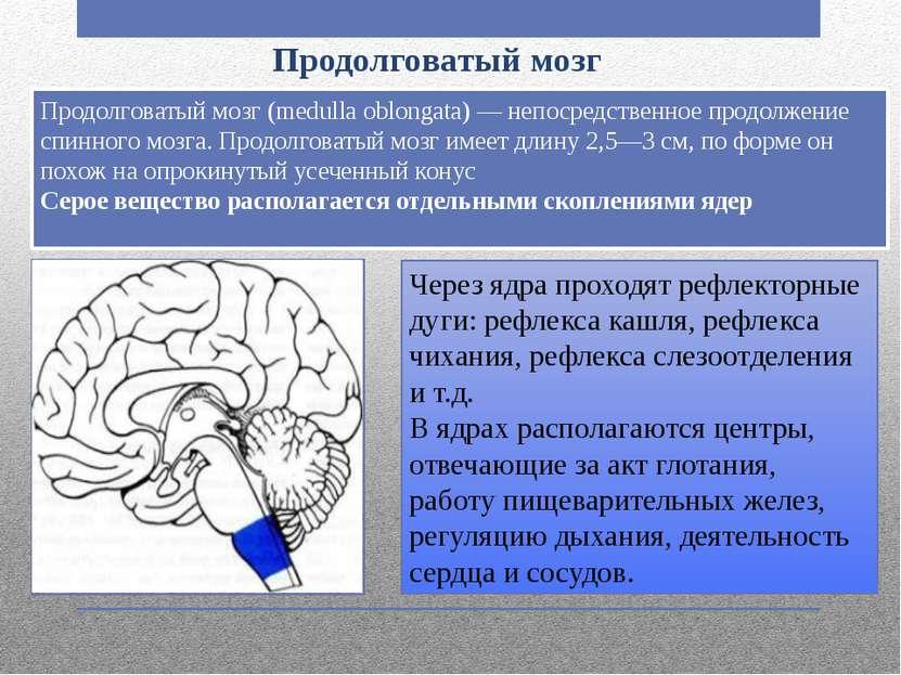 Продолговатый мозг Продолговатый мозг (medulla oblongata) — непосредственное ...