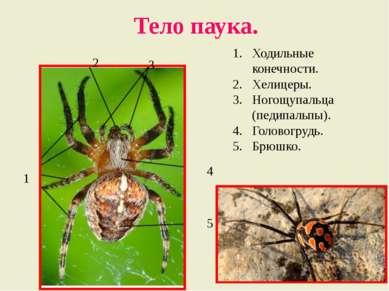 Тело паука. Ходильные конечности. Хелицеры. Ногощупальца (педипальпы). Голово...