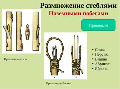 Размножение стеблями Наземными побегами Прививкой Прививка щитком Прививка по...