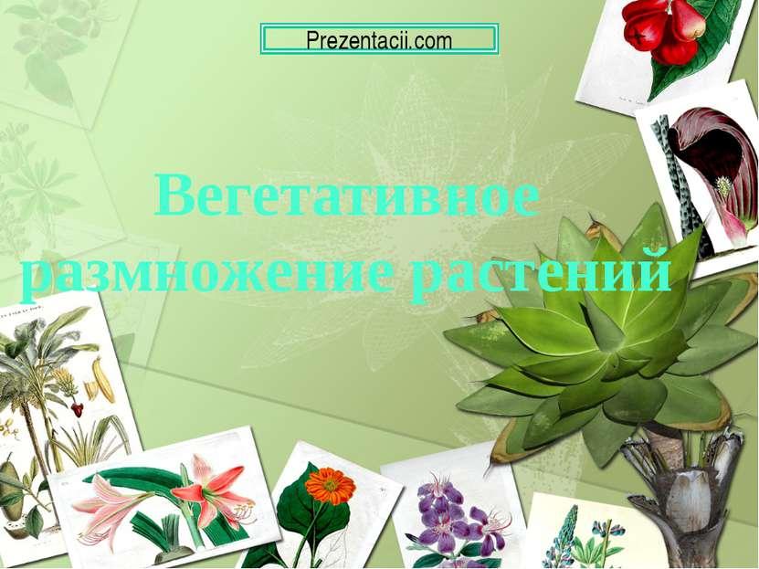 Вегетативное размножение растений Prezentacii.com