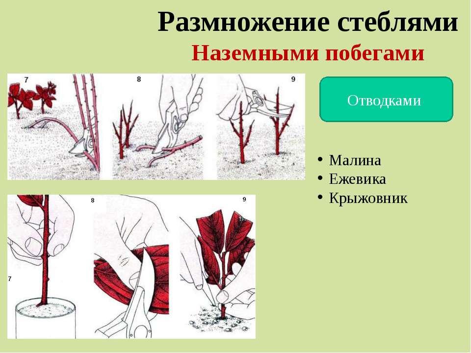 Размножение стеблями Наземными побегами Отводками Малина Ежевика Крыжовник