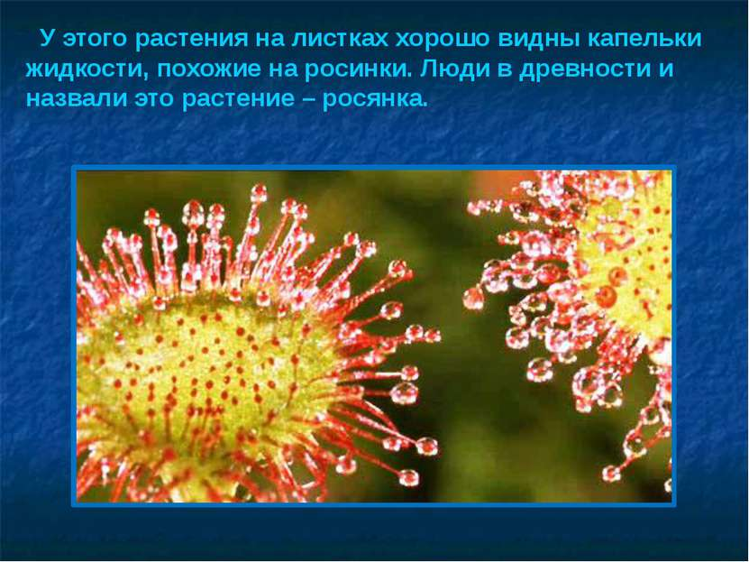 У этого растения на листках хорошо видны капельки жидкости, похожие на росинк...