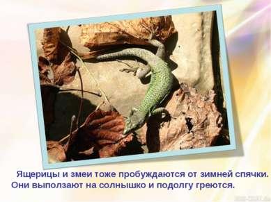 Ящерицы и змеи тоже пробуждаются от зимней спячки. Они выползают на солнышко ...