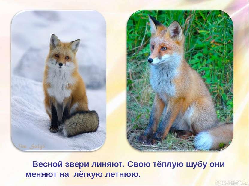Весной звери линяют. Свою тёплую шубу они меняют на лёгкую летнюю.
