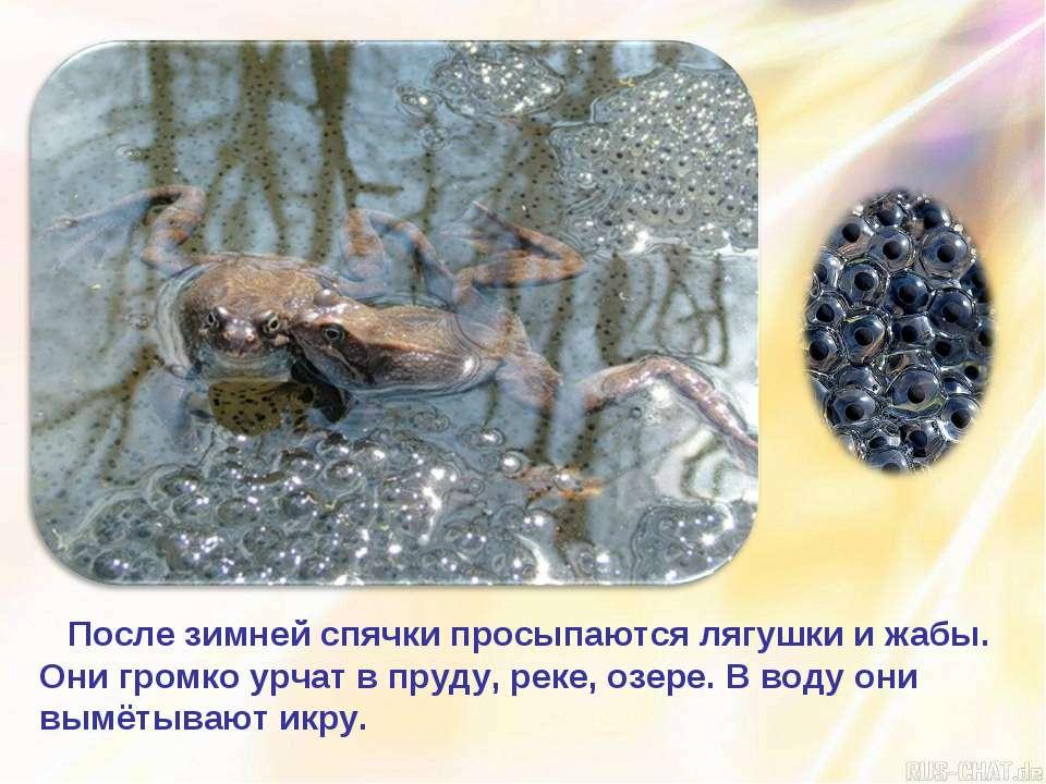После зимней спячки просыпаются лягушки и жабы. Они громко урчат в пруду, рек...