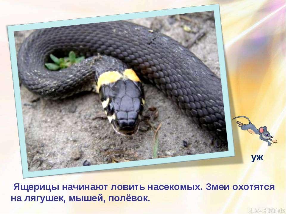 Ящерицы начинают ловить насекомых. Змеи охотятся на лягушек, мышей, полёвок. уж