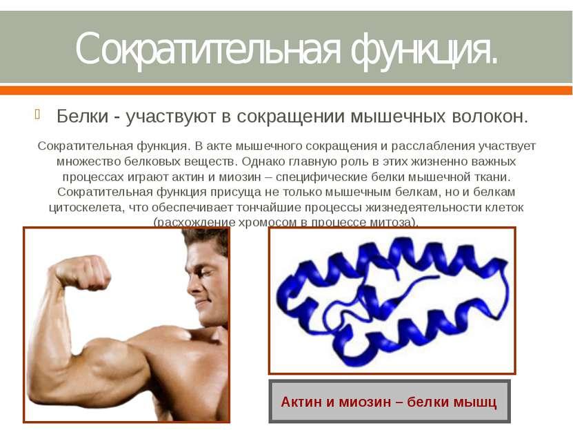 Сократительная функция. Белки - участвуют в сокращении мышечных волокон. Сокр...