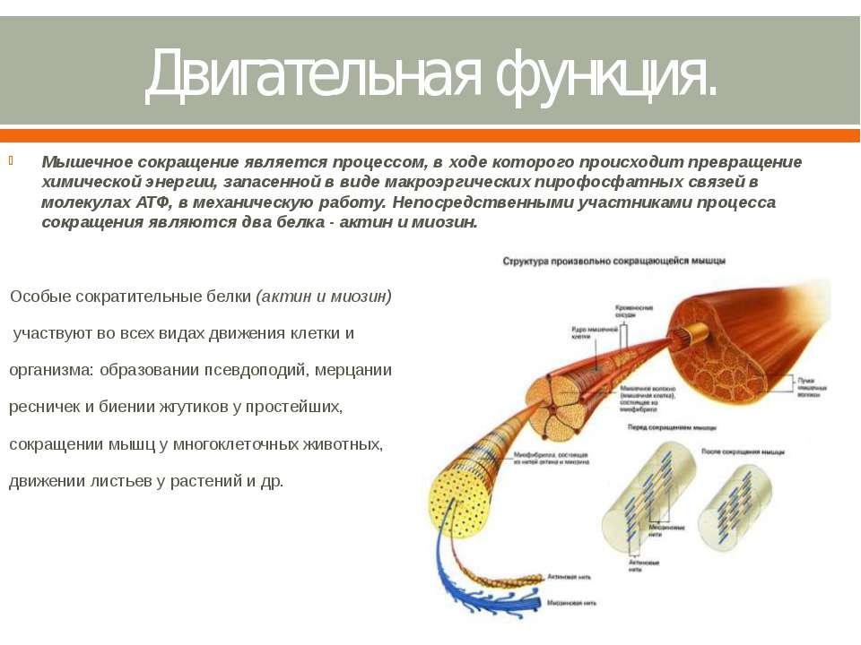 Двигательная функция. Мышечное сокращение является процессом, в ходе которого...