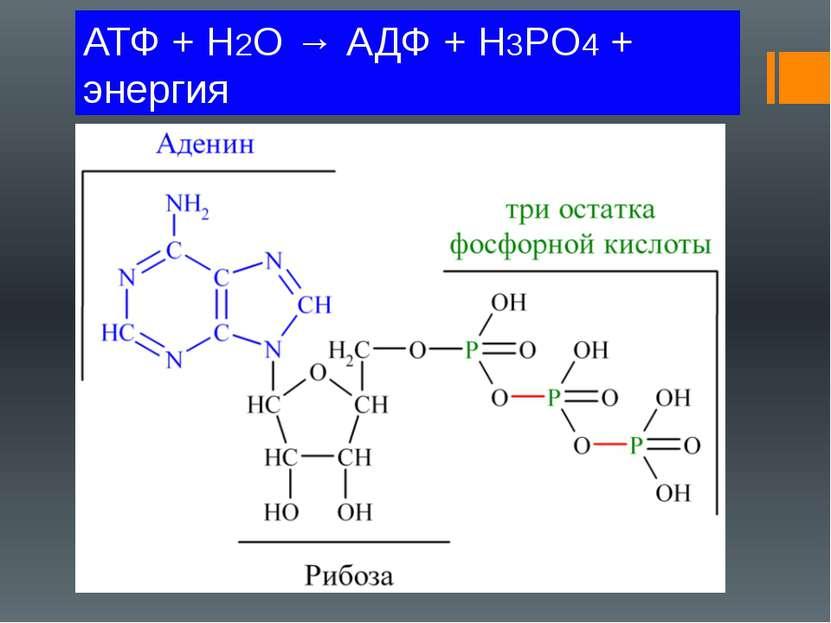 АТФ + H2O → АДФ + H3PO4 + энергия