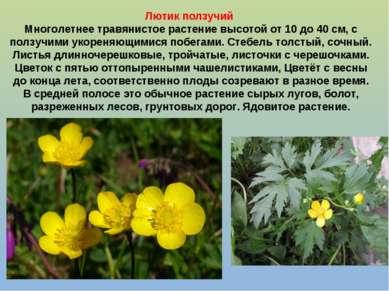 Лютик ползучий Многолетнее травянистое растение высотой от 10 до 40 см, с пол...