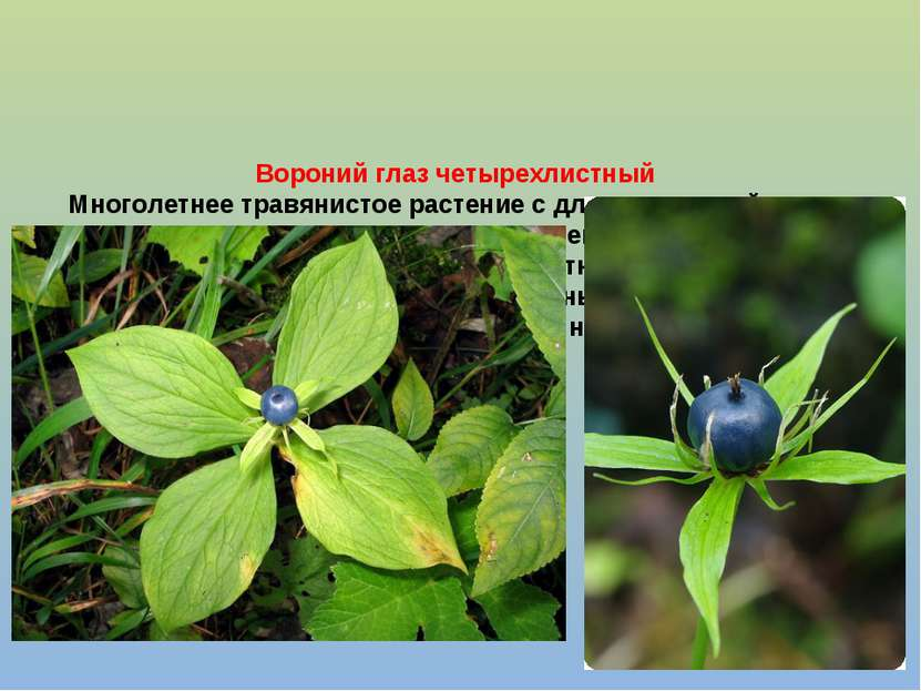 Вороний глаз четырехлистный Многолетнее травянистое растение с длинным чешуйч...