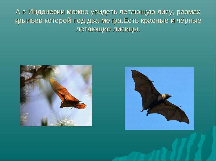 А в Индонезии можно увидеть летающую лису, размах крыльев которой под два мет...