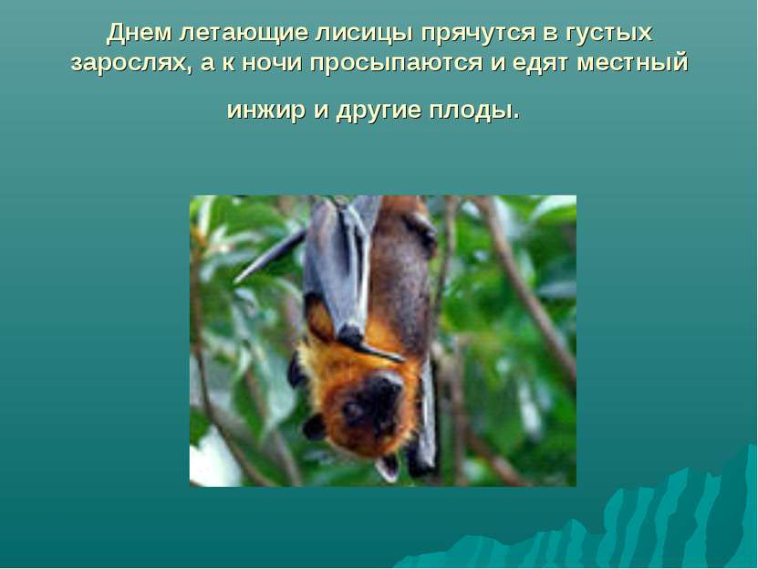 Днем летающие лисицы прячутся в густых зарослях, а к ночи просыпаются и едят ...
