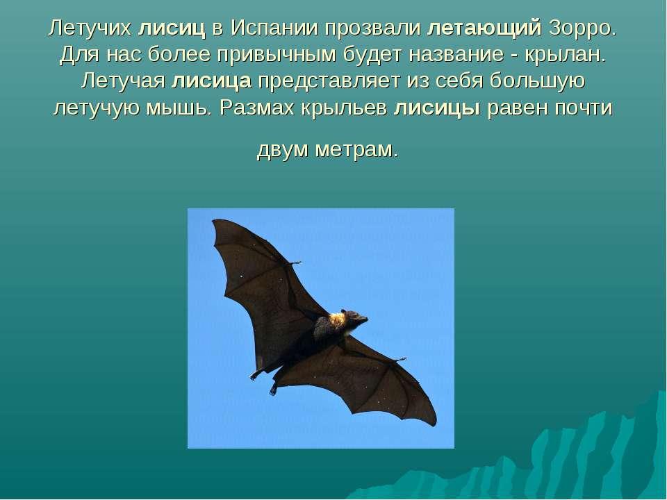 Летучих лисиц в Испании прозвали летающий Зорро. Для нас более привычным буде...