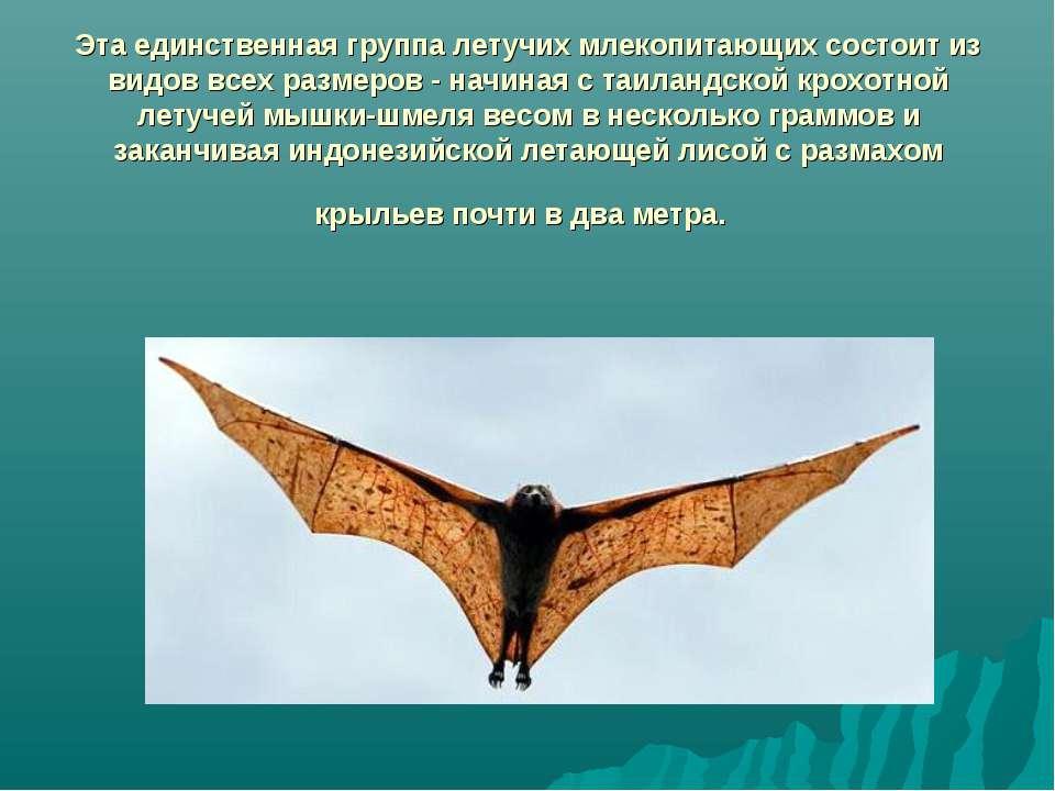 Эта единственная группа летучих млекопитающих состоит из видов всех размеров ...