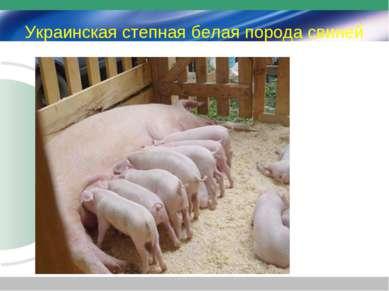 Украинская степная белая порода свиней