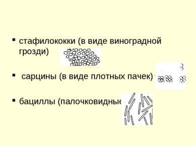 стафилококки (в виде виноградной грозди) сарцины (в виде плотных пачек) бацил...