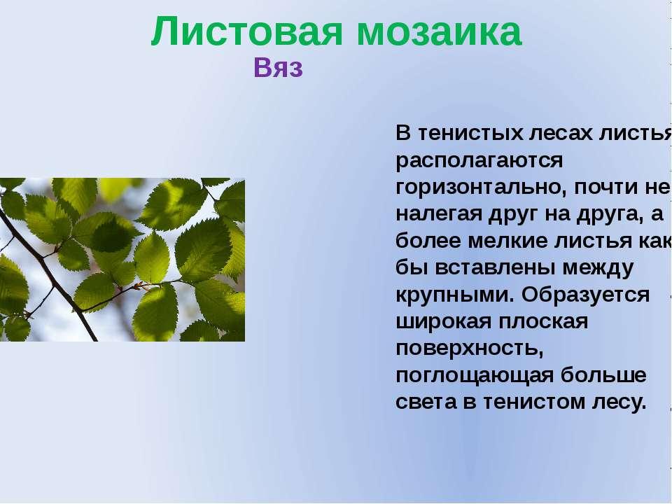 Листовая мозаика В тенистых лесах листья располагаются горизонтально, почти н...