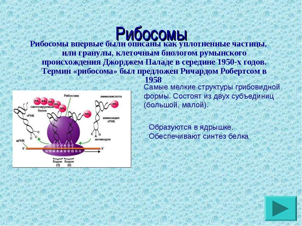 Рибосомы Рибосомы впервые были описаны как уплотненные частицы, или гранулы, ...