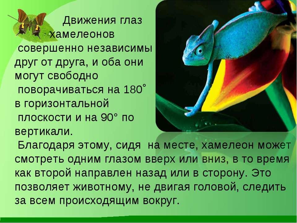 Движения глаз хамелеонов совершенно независимы друг от друга, и оба они могут...