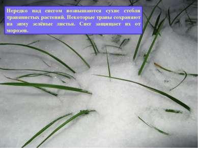 Как зимуют травянистые растения? Нередко над снегом возвышаются сухие стебли ...
