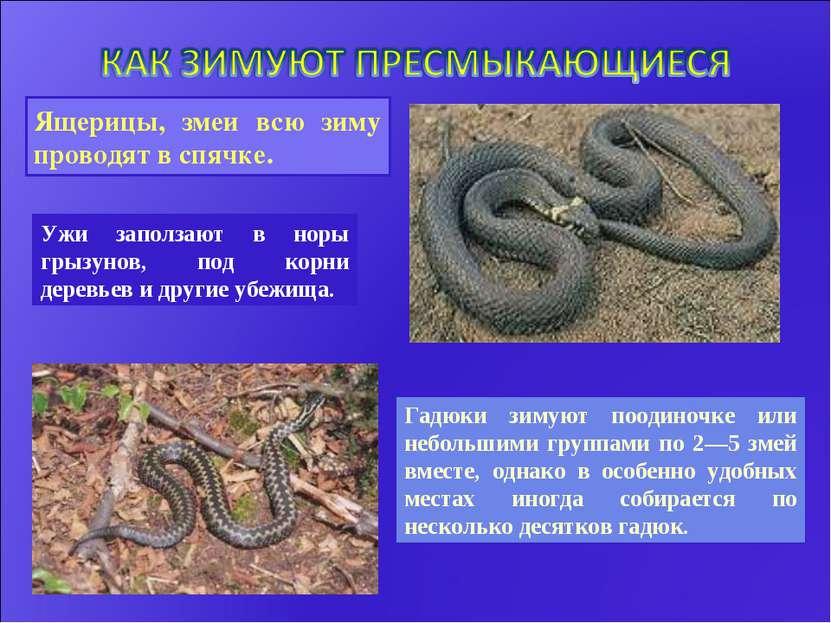 Гадюки зимуют поодиночке или небольшими группами по 2—5 змей вместе, однако в...