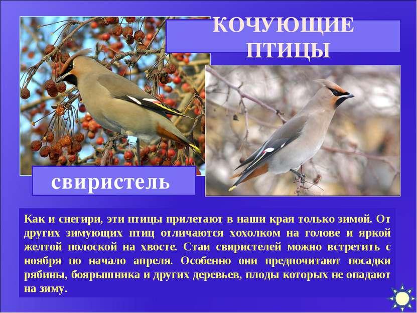 Как и снегири, эти птицы прилетают в наши края только зимой. От других зимующ...
