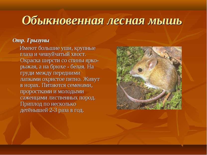 Обыкновенная лесная мышь Отр. Грызуны Имеют большие уши, крупные глаза и чешу...