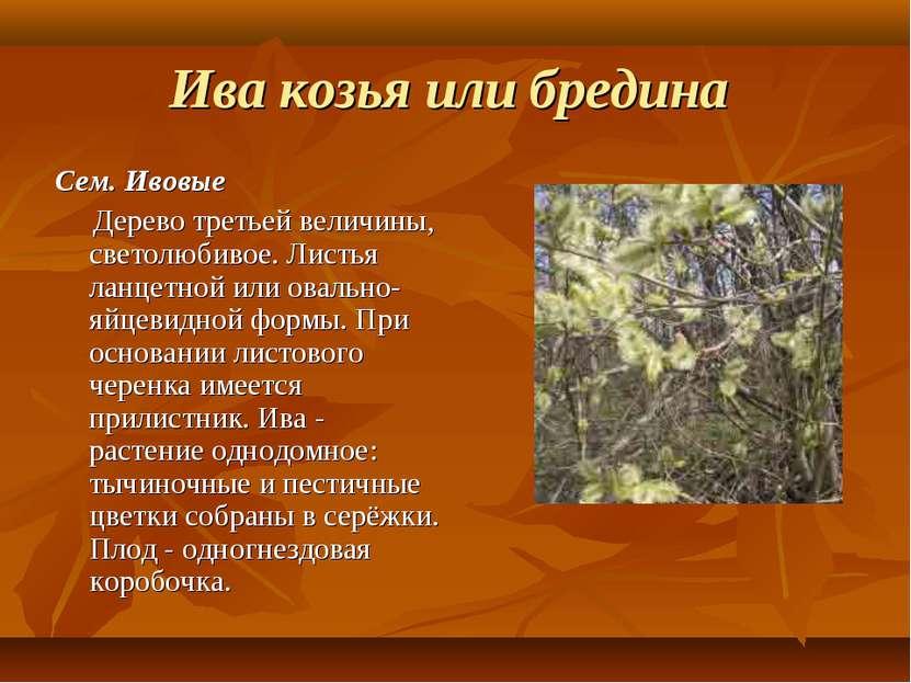 Ива козья или бредина Сем. Ивовые Дерево третьей величины, светолюбивое. Лист...